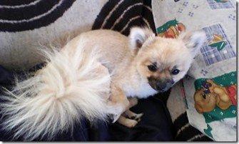 fox cut hair cut on Pomeranian