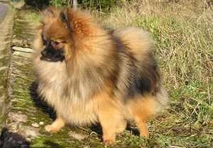 full coat Pomeranian