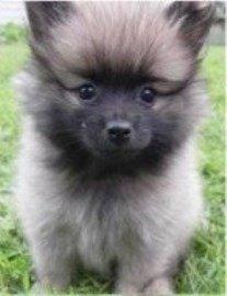 wolf sable Pomeranian pup