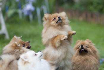 group of Pomeranians