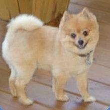 Pomeranian haircuts styles