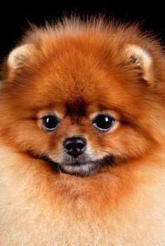 Pomeranian making cute face