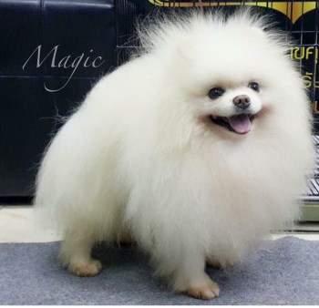 white Pomeranian named Magic