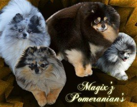Michigan Pomeranian Breeder
