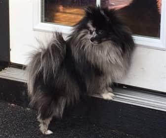 Pomeranian at doorway, merle