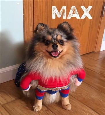costume most befitting on Pomeranian