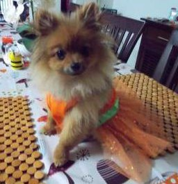 Pomeranian puppy in dress looking at owner