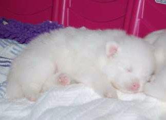 newborn Pomeranian puppy