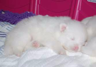 newborn baby Pomeranian