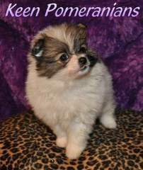 North Alabama Pomeranian Breeder