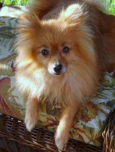 Pomeranian with thin coat