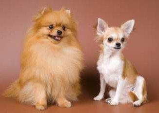 Pomeranian compared to Chihuahua size