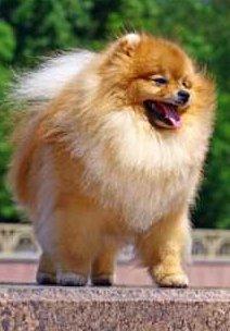 Full teddy bear haircut on Pomeranian