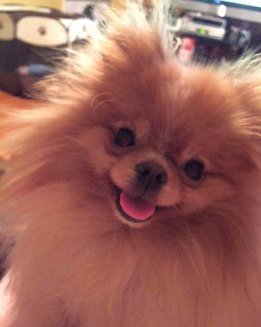happy Pomeranian with mouth open