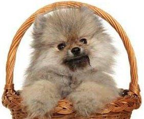Pomeranian in a basket