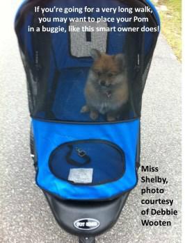 Pomeranian in stroller