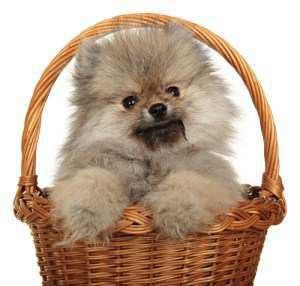 Pomeranian puppy in basket
