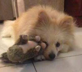cute Pomeranian puppy with toy