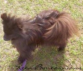 Pomeranian after puppy uglies