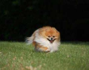 Pomeranian running on grass
