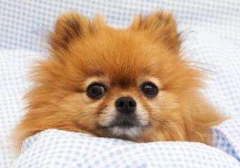 Pomeranian sick in bed