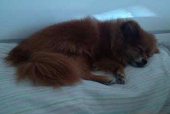 Pomeranian sleeping on pillow