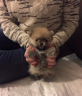 Pomeranian Teddy face