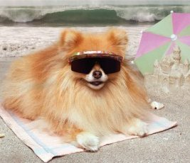 Pomeranian wearing sunglasses
