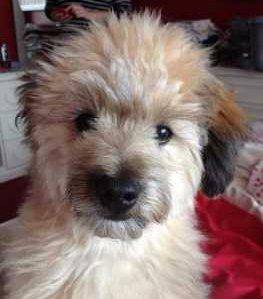 Silky Terrier Shih Tzu Mix Pomeranian Mixes | Lis...