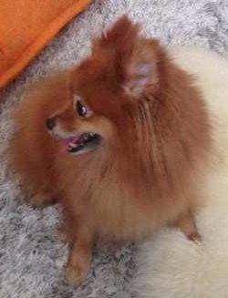 Pomeranian nicely groomed