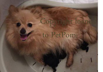 Pomeranian with litter after giving birth