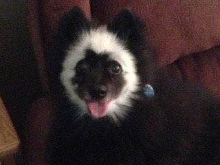 Pomeranian after pic, black with white ring on head