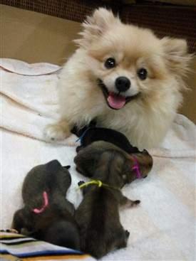 Pomeranian dam and litter of newborn pups
