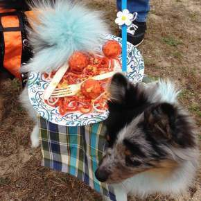 Pomeranian dressed as table