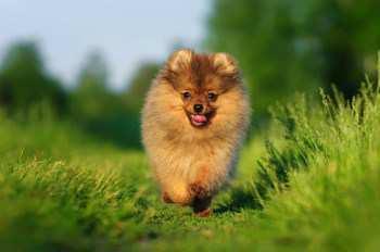 Pomeranian exercising