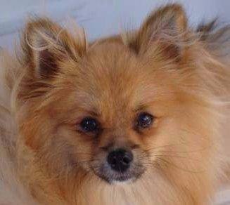 Pomeranian eye color
