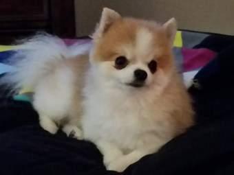 Pomeranian fur cut too short