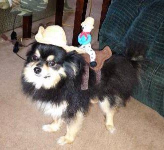 Pomeranian in horse costume