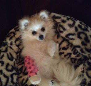 Pomeranian with leg cast