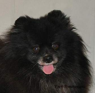 Pomeranian light brown eyes
