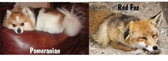 Pomeranian looks like fox