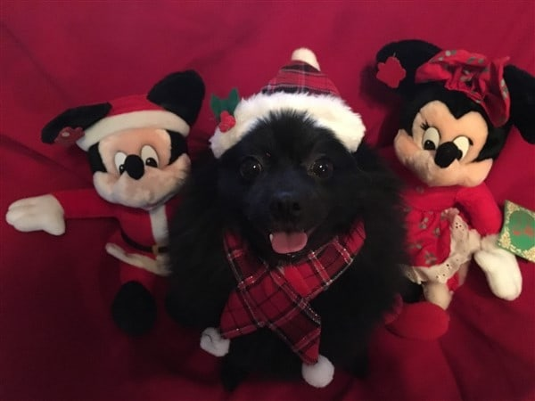 pomeranian-on-christmas