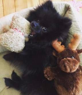 Pomeranian puppy at office