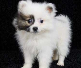 Pomeranian puppy white with black markings