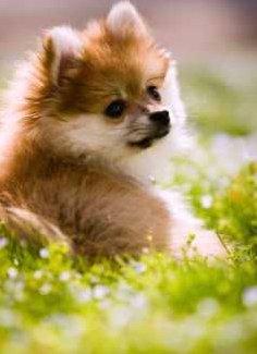 Pomeranian relaxed in sunny field