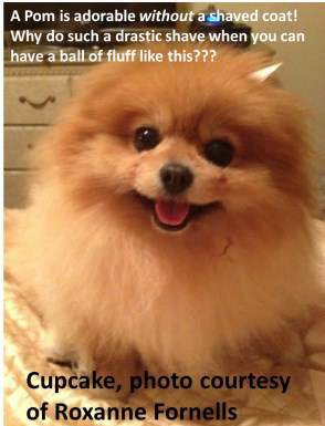 Should You Make Your Pomeranian Look Like Boo