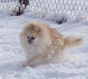 Pomeranian running in winter snow