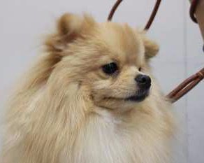 side view of Pomeranian