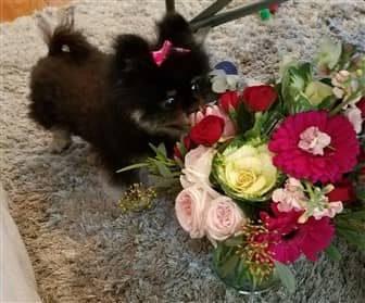 Pomeranian smelling flowers in a vase