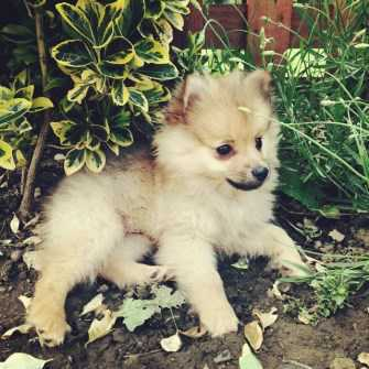 Pomeranian in the summertime